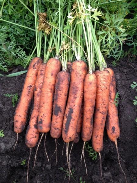 Seminte morcovi Talianna F1 (100.000 seminte), cal.1,2-1,4mm, tip Nantes, agroTIP