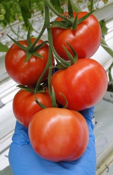 Seminte rosii Merlice F1 (1000 seminte), nedeterminate, Seminis