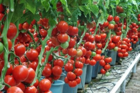 Seminte rosii Profilo F1 (500 seminte), nedeterminate, De Ruiter Seeds
