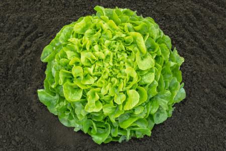 Seminte salata Pleasance (5000 seminte), tip oakleaf, Bejo Zaden