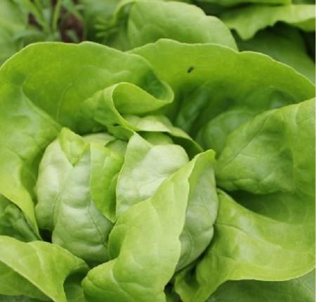 Seminte salata Touareg (5000 seminte), drajate, Seminis