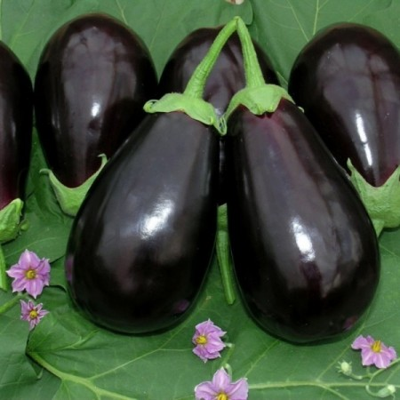 Seminte vinete HA09206 F1 (1000 seminte), fructe mari, Fito Semillas