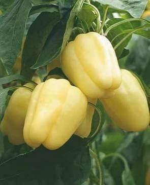 Simnic 7 - 1 gr - Seminte de ardei gras fruct fraged si suculent adaptabilitate ridicata la conditiile de mediu de la Mefim Agro