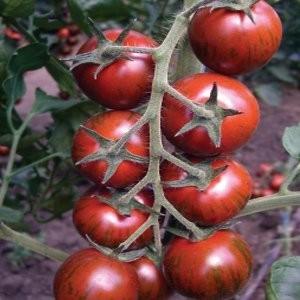 Tiger F1 - 200 sem - Seminte de rosii nedeterminate potrivit culturilor de primavara-toamna din sere si camp deschis pe araci ce produce fructe tigrate cu gust deosebit de la Yuksel