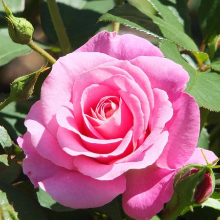 Trandafir My Girl (1 butas in ghiveci 2 l) cu flori mari colorate intr-o nuanta superba de roz luminos, butasi de trandafiri Tantau