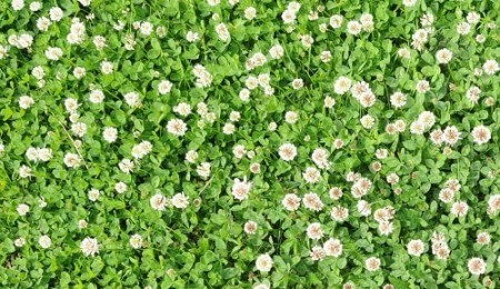 Trifoi Alb Pitic (500 gr) Seminte de Trifoi Alb Calitate Superioara Trifoi Alb, Florian