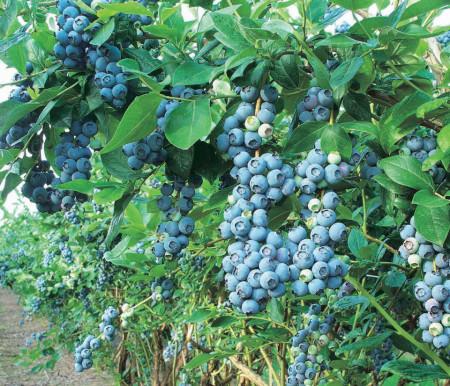 Afin Bluegold, butasi de afine soi cu fructe mari, pulpa ferma, gust dulce-acrisor placut, Yurta