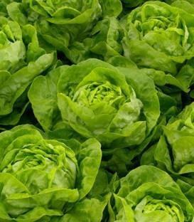 Antedis - 5000 sem - Seminte drajate si pregerminate de salata cu frunze foarte bine etajate putand fi cultivata cu succes si pe perioada verii de la Bejo