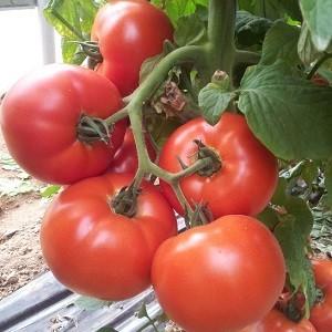 Avatar F1 - 500 sem - Seminte de rosii cu crestere nedeterminata si fructe de calitate superioara care se pot pastra foarte bine avand gust excelent si fermitate de la Cora Seeds