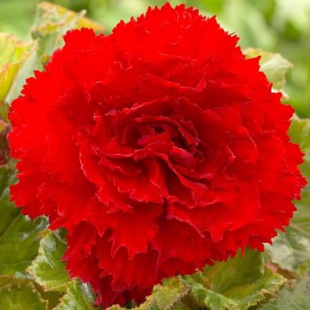 Begonie Fimbriata Red (3 bulbi), floare mare creata, culoare rosu, bulbi de flori