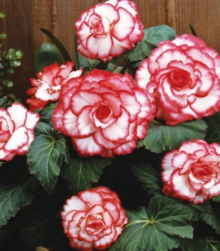Begonie Picotee White Red (2 bulbi), floare culoare alb cu rosu, bulbi de flori