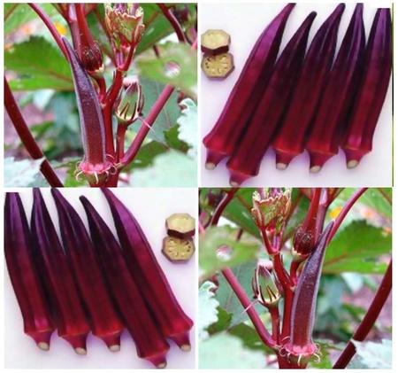 Burgundy - 5 gr- Seminte Bame Rosu Visiniu Inchis de la Florian
