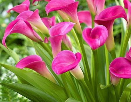 Cala Garnet Glow (1 bulb), floare mare, culoare ciclam, bulbi de flori