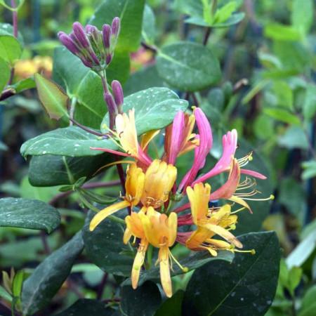 "Caprifoi Lonicera Goldflame (1 m in ghiveci de 2 L), tufa ornamentala cataratoare ""Mana Maicii Domnului"" cu flori foarte parfumate, roz cu galben-portocaliu"