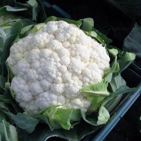 Chamonix F1-1000 sem.- seminte de conopida,100 zile,inflorescente dense,albe,bine acoperite de frunze,3kg de la Hazera