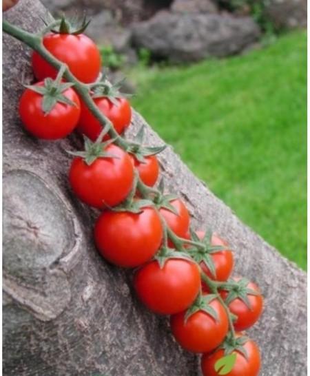 Cherry Rosu - 0.2 gr - Seminte Rosii Soi semitimpuriu tip Cherry Rosu de la Opal