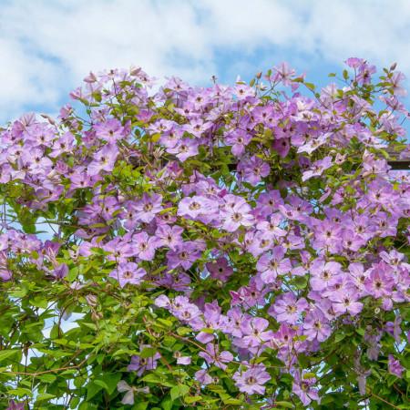 Clematite Morning Sky (1.5 m in ghiveci de 2 L) tufa ornamentala cataratoare Clematis, cu flori mari, intr-o combinatie superba de roz si violet