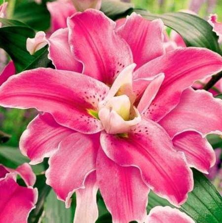 Crin Oriental Lulu (1 bulbi) culoare roz inchis, bulbi de Crini