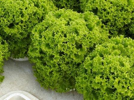 Dabi - 5000 sem - Seminte drajate de salata creata cu rezistenta buna la afide si un ritm de crestere rapid frunze fine grupate intr-o capatana compacta de dimensiuni mari de la Enza Zaden
