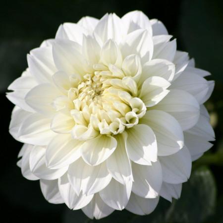 Dalie Snowcountry (1 bulb), culoare alb, deosebita, bulbi de flori