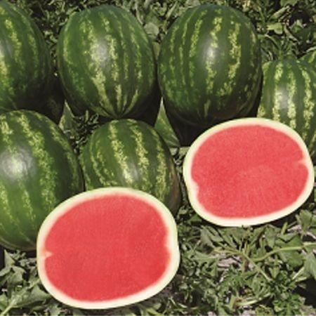 Fascination F1 - 1000 sem - Seminte de pepene verde fara seminte de la Syngenta