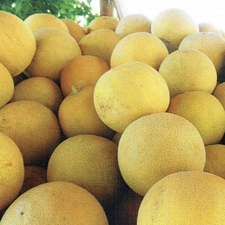 Fenomenon F1 - 500 sem - Seminte de pepene galben tip Galia ce are o perioada de vegetatie de 90-95 de zile si se preteaza atat cultivarii in camp deschis cat si in spatii protejate atingand greutati cuprinse intre 2-3 kg de la Fito Semillas