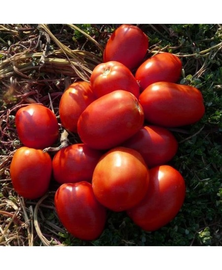 Galilea F1 (500 seminte) seminte rosii semideterminate, forma ovala de la Hazera