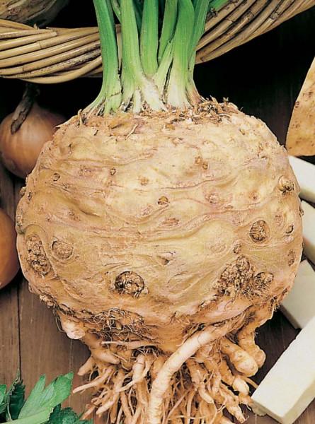 Gigant Praga (Prager Riesen) (30 gr) Seminte de Telina Gigant Praga Soi Tardiv, Mefim Agro