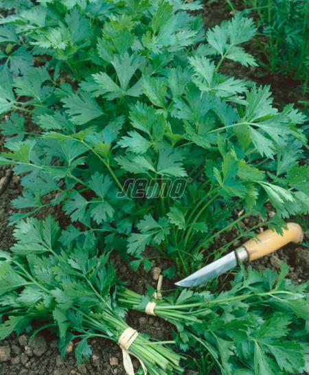 GIGANTE D'ITALIA (100 gr) patrunjel de frunza cu frunze mari de culoare verde inchis si miros excelent, Semo Cehia