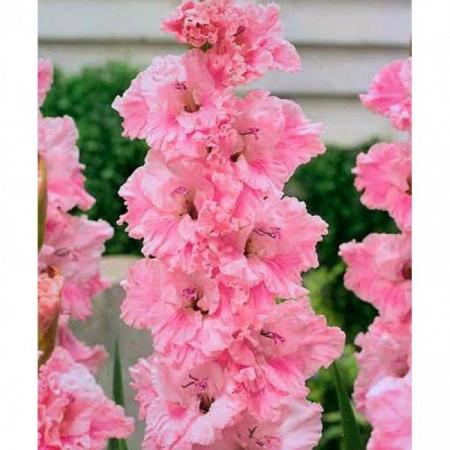 Gladiole Samara (7 bulbi), gladiole cu flori mari extrem de atractive, gofrate, de culoare roz, bulbi de flori