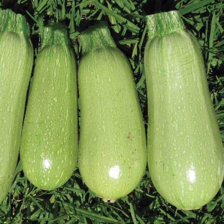 Italian Light Green (20 seminte) de dovlecei, culoare verde deschis, soi timpuriu, Agrosem
