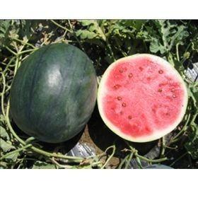 Lantha F1 - 1000 sem - Seminte de pepene verde de tip Sugar Baby cu pulpa de un rosu intens si seminte mici dulce ferm si delicios avand o prospetime deosebita de la Hollar Seeds