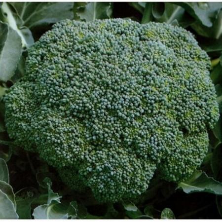 Lucky F1 - 1000 sem - Seminte de broccoli foarte productiv ce formeaza inflorescente compacte si dense de la Bejo