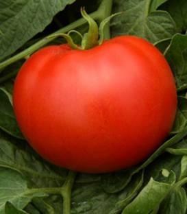 Magellano F1 - 500 sem - Seminte de rosii determinate ce prezinta o buna adaptabilitate la conditiile de cultura si o productivitate crescuta cu fructe de o fermitate foarte buna fara umar verde si pulpa carnoasa avand un gust excelent de la Isi Sementi