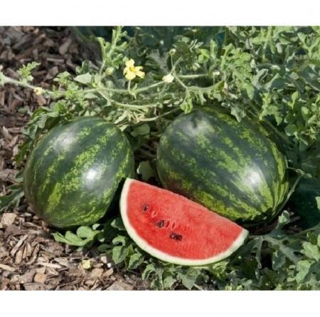 Mini Love F1 - 1000 sem - Seminte de pepene verde cu o maturitate timpurie gust extrem de dulce de la Clause