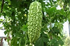 Momordica Charantia (10 seminte), castravete amar pentru diabet, Opal