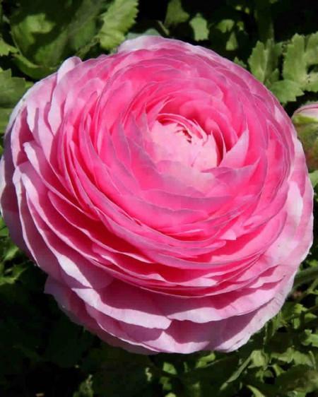 Ranunculus Pink (10 bulbi), flori culoare roz, inflorescenta bogata, bulbi de flori
