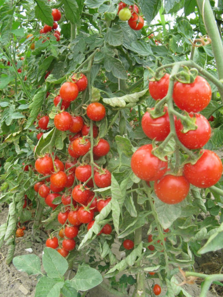 Rosii Buzau 22 (120 seminte), tomate soi viguros crestere determinata, Agrosem