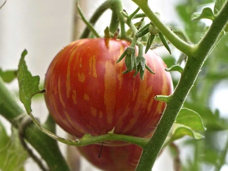 Rosii TIGERELLA (0.5 gr) Soi timpuriu rotund gustos de culoare rosu intens cu dungi portocalii, Florian