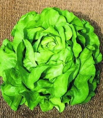 Sandrine - 10 grame - Seminte de salata ce prezinta capatani foarte mari de culoare verde deschis si se preteaza productiilor de toamna si primavara de la Clause