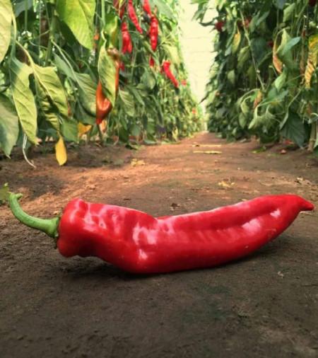 Seminte ardei kapia Delicado (100 seminte), Dulce Italiano, Capsico