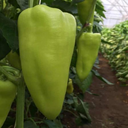 Seminte ardei Octavia (1000 seminte), fructe mari, Capsico
