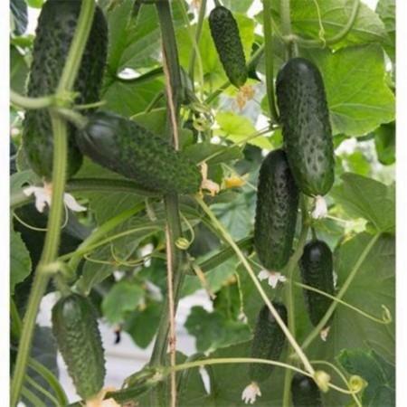 Seminte castraveti cornichon Pleasure F1 (250 seminte), extratimpuriu, Fito Semillas