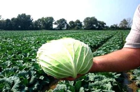 Seminte de varza Muntenia (100 gr), varza de toamna Muntenia soi romanesc, 4 Agro
