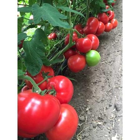 Seminte rosii Matissimo F1 (100 seminte), extratimpurii, Seminis