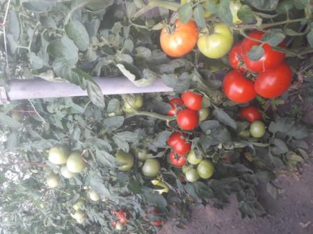 Seminte tomate Gramada F1 (5 gr), crestere nedeterminata, hibrid semitimpuriu nou, Opal