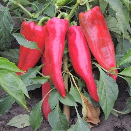Szekeli F1 - 1000 sem - Seminte de ardei kapia crestere nedeterminata cu coacere din verde in rosu ce poate fi plantat incepand cu prima decada a lunii martie pana la mijlocul lunii iunie in spatii protejate de la Duna-R