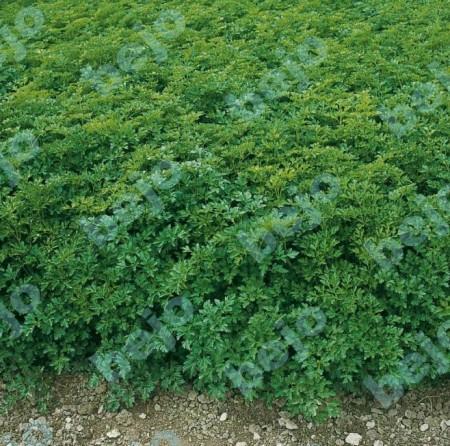 Titan - 50 grame - Seminte de patrunjel de frunze ce are randament mare la uscare si suporta recoltari mecanice repetate de la Bejo