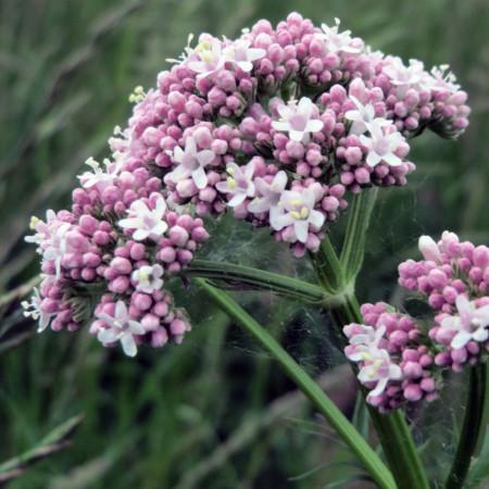 Valeriana Officinalis Medicinala (0.1 gr) seminte plante medicinale valeriana, Agrosem
