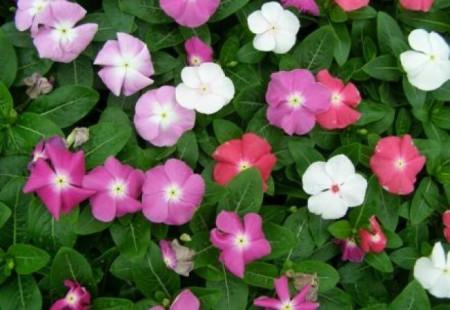 Vinca - Seminte de Vinca Mix Catharanthus roseus mix flori de la Florian